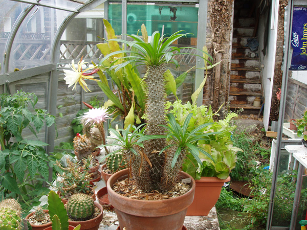 pachypodium sp.