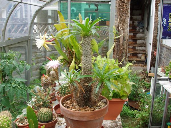 pachypodium sp.